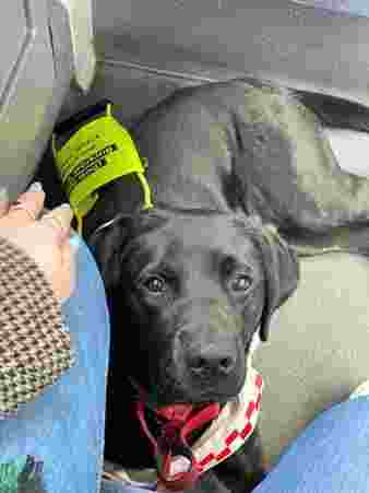 A cute black Labrador wearing a Guide-dog harness, lying on the floor of a bus, looking up with big brown eyes to the camera.